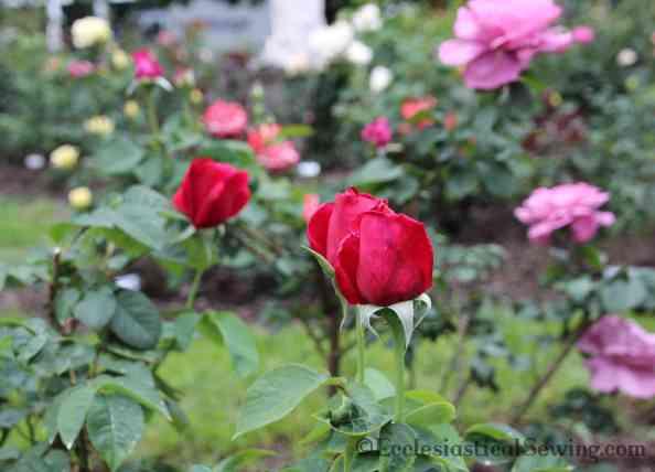 Roses in Bloom Spring in Nashville